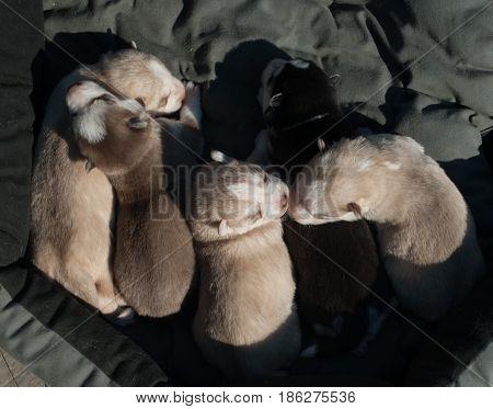 pack of cute newborn husky puppies in summer