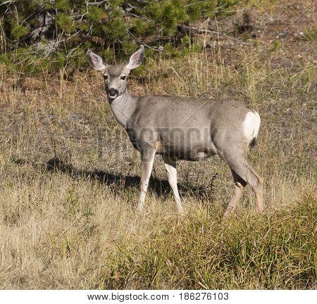 Doe Mule Deer In Grass With Pine Tree In Background