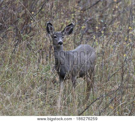 Mule deer in deep grass and scrubs
