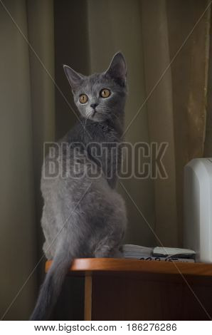 British Shorthair cat is sitting on the table