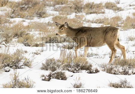 Doe Mule Deer Walking In Deep Snow In Meadow On Hill In Tetons