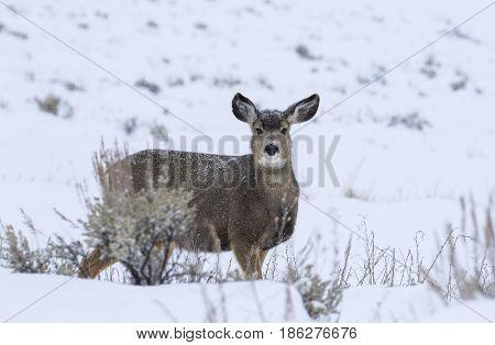 Mule Deer Doe In Deep Snow During Winter In Grand Teton National Park Near Town Kelly