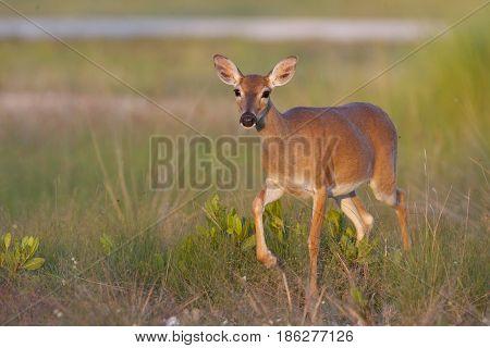 Endangered Key Deer Walking