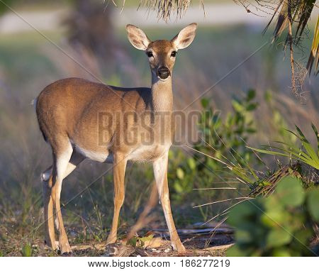 Endangered Key Deer Standing On Limestone Base With Palm And Palmetto Trees In Background