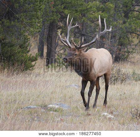 Bull Elk Walking