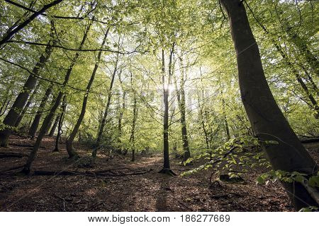 Early spring through a Danish beech forest. Light green all over.