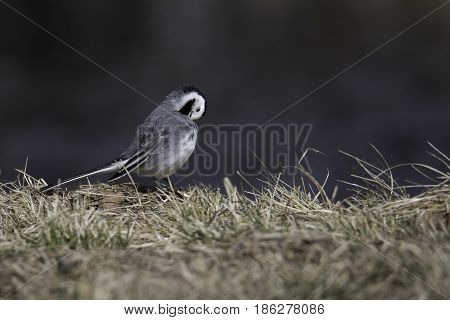 A White Wagtail Cleaning Feathers in grass.