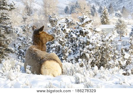 Elk lying down on snow covered hill