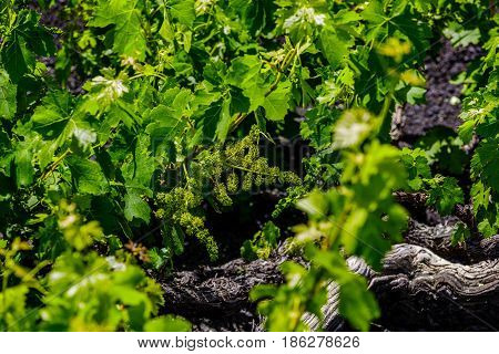 Wine grapes grow in the lava of Lanzarote.