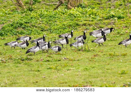 Group Of Barnacle Geese