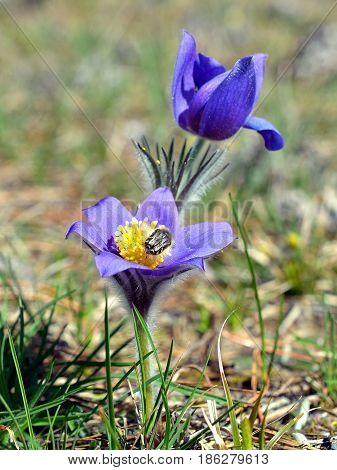 Common pasque flower (pulsatilla vulgaris) one of the earliest flowers in spring