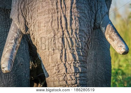 Close Up Of Elephant Tusks In Chobe.