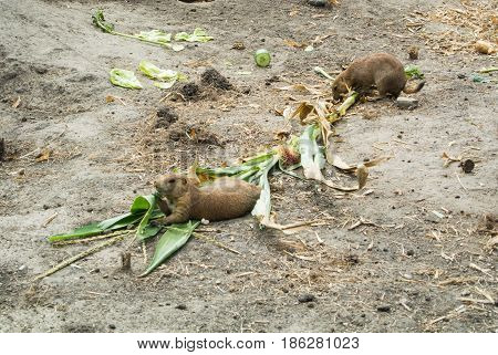 Budapest, Hungary - July 26, 2016: Prairie Dogs Eating Plants At Budapest Zoo And Botanical Garden,