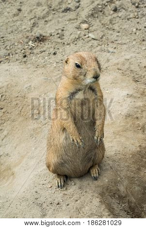 Budapest, Hungary - July 26, 2016: Standing Prairie Dog At Budapest Zoo And Botanical Garden, Hungar
