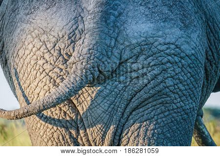 Close Up Of An Elephant Bum In Chobe.