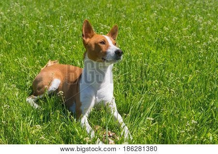 Mature basenji dog resting in spring grass guarding its delicacy - beef bone