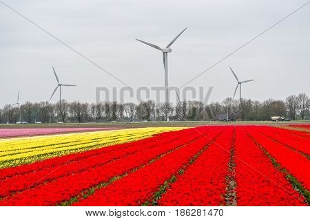 Windmills On The Tulip Field