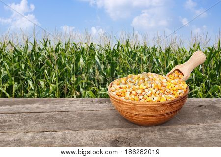 uncooked corn seeds in bowl with scoop on wooden table with green field on the background. Agriculture and harvest concept. Maize with maize field background