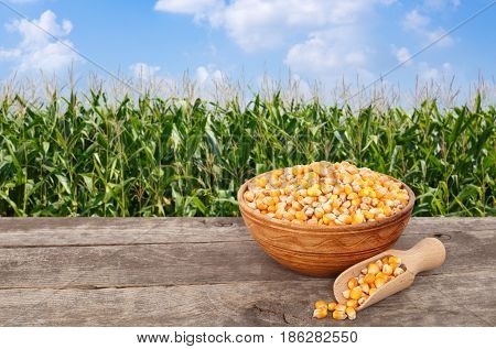 uncooked corn grains in bowl with scoop on wooden table with green field on the background. Agriculture and harvest concept. Maize with maize field background