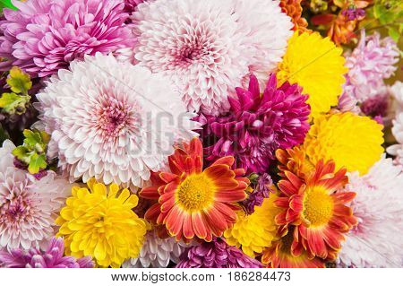 Colorful chrysanthemum and daisy flowers background close up