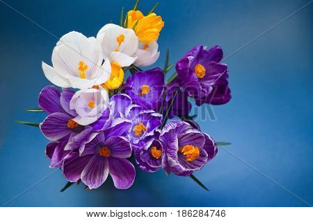 A Crocus close up on the blue background