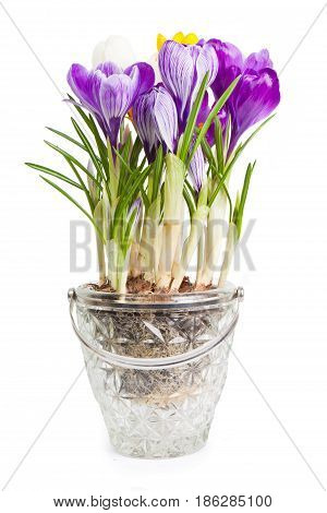 Close up crocuses  isolated on the white background