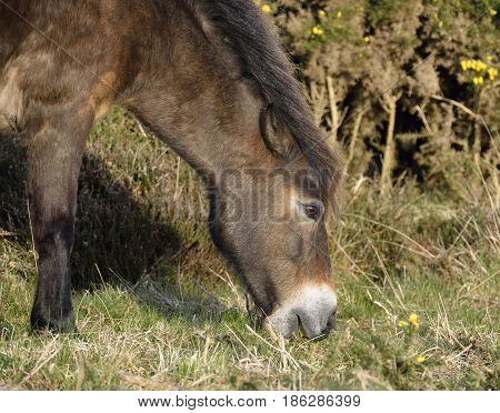 Exmoor Pony Feeding Head & shoulders Feeding