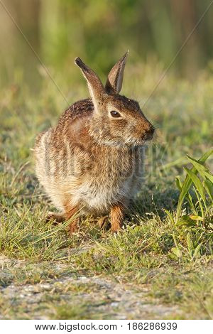 Eastern Cottontail Rabbit in tall grass, front view