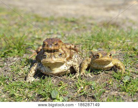 common toad bufo bufo in natural habitat