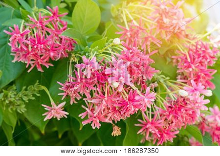Chinese honey Suckle Quisqualis indica colorful red pink tiny tropical fragrant flowers.