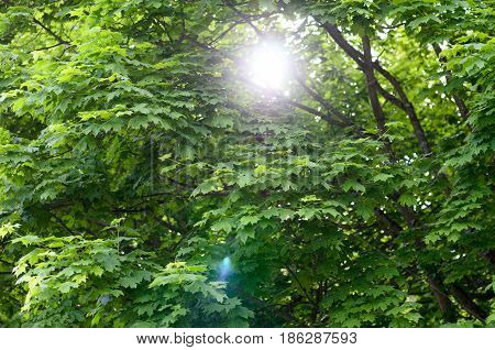 Sun flare through the branches leafy green spring trees in a nature background conceptual of the seasons