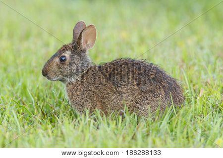 Marsh Rabbit profile in tall green grass