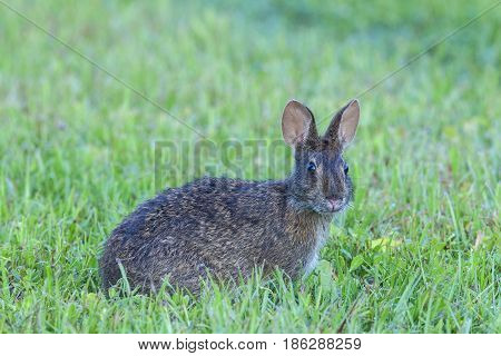 Marsh Rabbit Is Deep Grass, Profile View, Looking Directly At Viewer