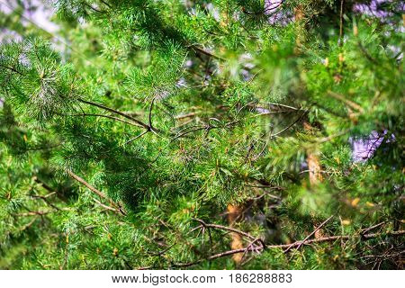 fir tree unfocused background. close up blurred nature
