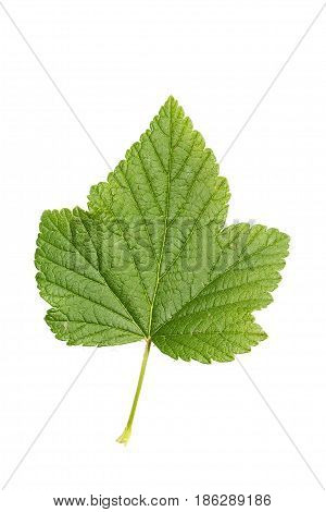 Isolated currant leaf on a white background a berry containing a lot of vitamins and microelements