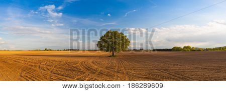 Memorable tree on the empty spring field. Panorama picture.
