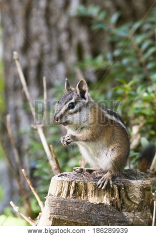 Least Chipmunk On Stump With Tree And Fern In Background