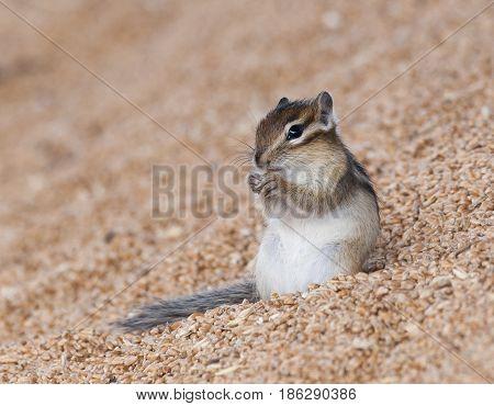 Siberian Chipmunk On Grain Pile Eating Wheat