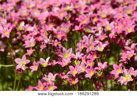 Small pink flowers. Carpet of pink flowers. Blooming garden. Gorgeous carpet of flowering hot pink flowers.