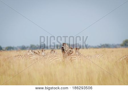 Zebras Playing In The High Grass.