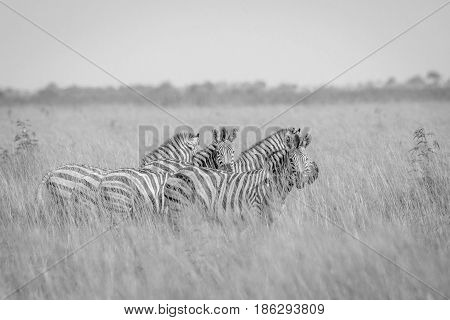 Group Of Zebras Standing In High Grass.