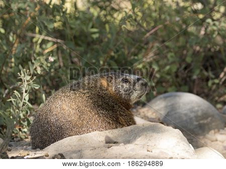 Profile Of Yellow-bellied Marmot On Rocks With Scrubs In The Background