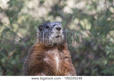 Yellow-bellied Marmot Portrait Of Head And Chest With Scrubs