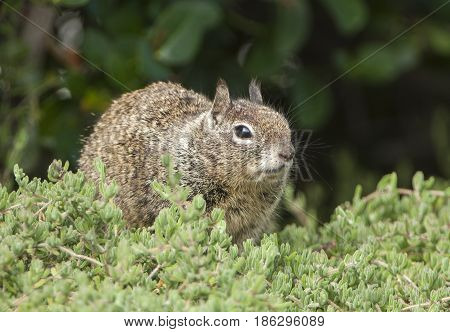 California Ground Squirrel In Succulent Plants Near San Diego, California