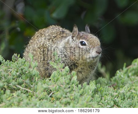 California Ground Squirrel in green pickle weed