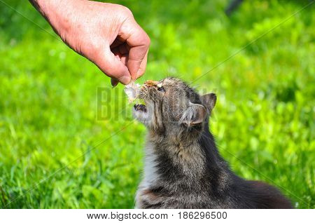Hungry Norwegian cat eats fish's bones. Cat eating fish remains from older man hands