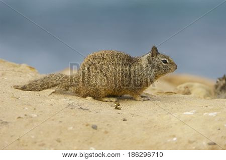 California Ground Squirrel standing in brown sand