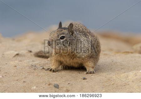 California Ground Squirrel On Sandy Ground Near Beach Near San Diego, California