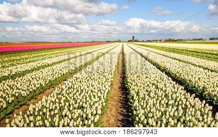 Seeming endless converging flower beds with white flowering tulip blooms at the edge of a small village in the Netherlands. It is springtime now.