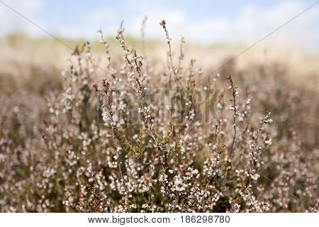 Heath plants in the Nationaal Park Hoge Veluwe Netherlands.